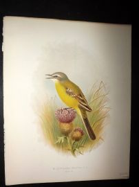 Butler, Frohawk & Gronvold 1908 Antique Bird Print. Blue-Headed Wagtail 50